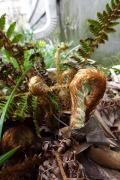 tassel fern emerging