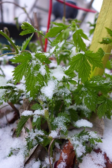hops in the snow