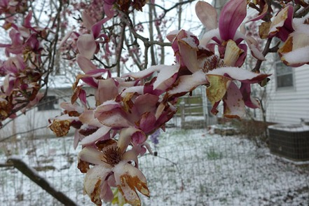 magnolia in the snow