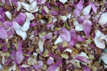 magnolia petals on the ground