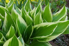 hosta getting bigger