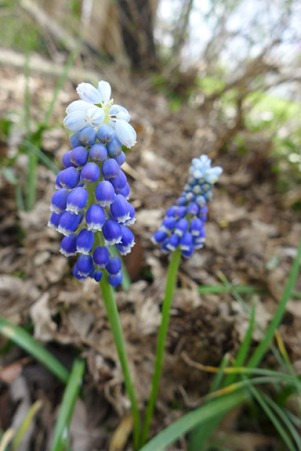 Helena grape hyacinth