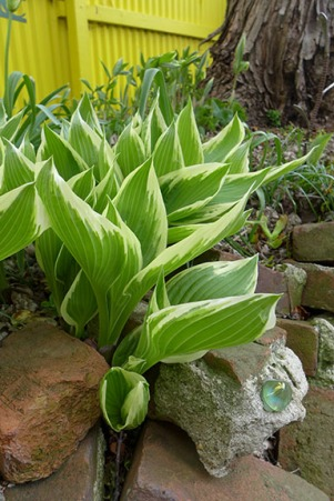 hostas growing