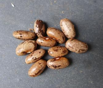Penndragon Pole Beans