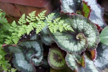 begonia and fern