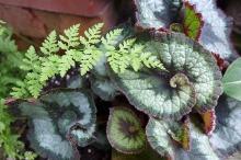 begonia and fern