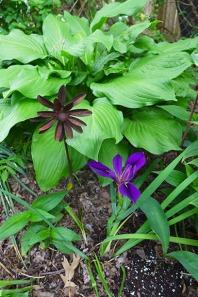 iris and hostas
