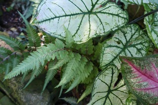 caladiums and fern