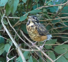 baby robin found while walking Perry