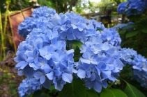 my neighbor's blue hydrangea