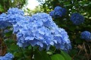 more blue hydrangea