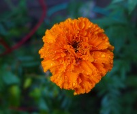 marigold in the rain
