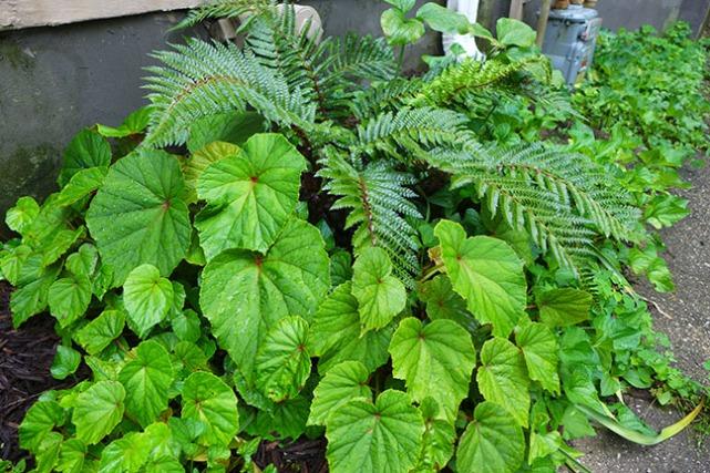 tassel fern, hardy begonias, and trillium