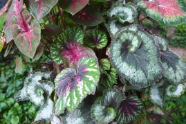 shade planter with begonias and caladium