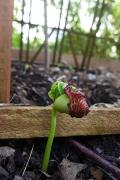 zebra lima bean sprout