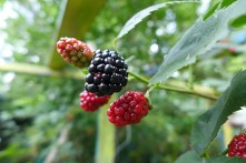 blackberry jewels