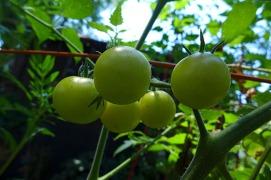 chardonnay tomatoes ripening