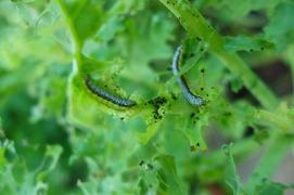 caterpillars on the kale