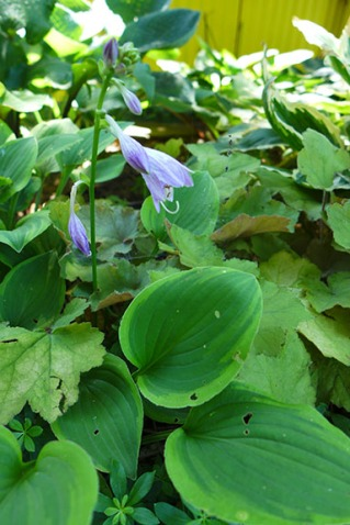 hosta bloom