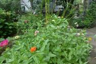 zinnias starting to bloom