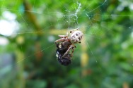 spider having lunch