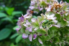 aging hydrangea bloom