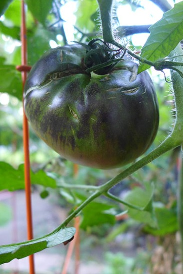 Black Beauty tomato ripening