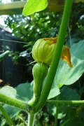 baby squash with spent bloom