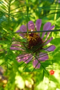 zinnia and cypress vine