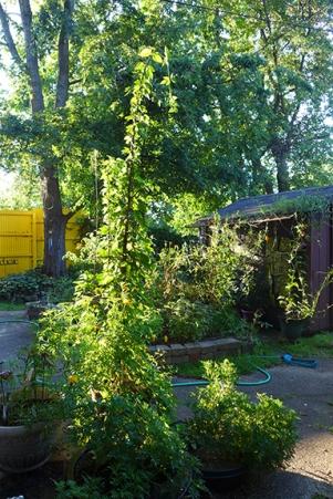 hops and my garden