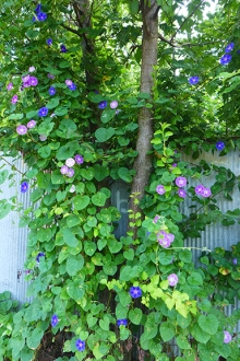 morning glories along the alley