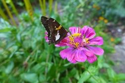 silver skipper butterfly