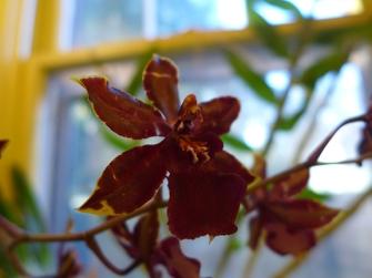 bobcat orchid