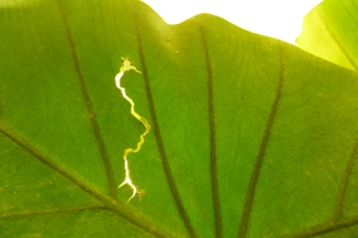 leaf lightning