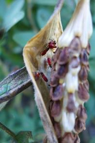 milkweed bugs hiding