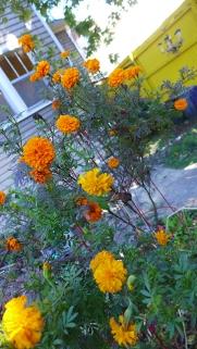 marigold cluster