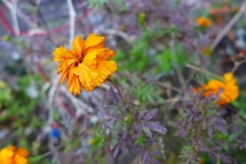 frost-wilted marigold