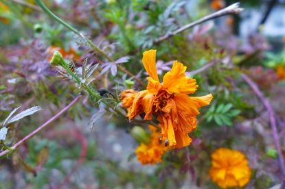 cold marigold