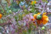 cold marigold foliage