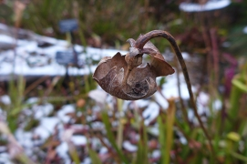 dried pitcher plant