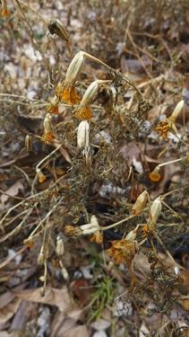 drying marigolds