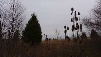 teasel and tree