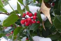 holly berries at Patchwork