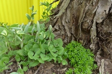 wild ginger, variegated Solomon's seal, and sweet woodruff