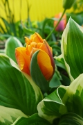 tulips and hostas