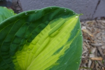 hosta with dewdrops