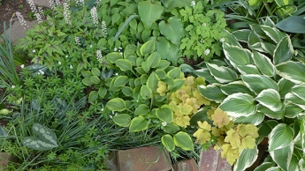 plant combination including hostas, heucheras, sweet woodruff, and other plants