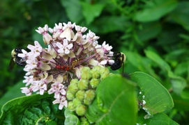 milkweed with happy insects