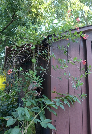 native honeysuckle on the shed
