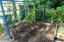 digging a trench for raspberries